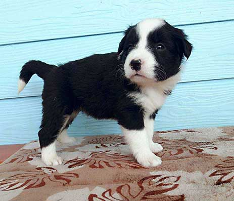 Buy Border Collies in Thailand - Chiang Rai Border Collie Kennels