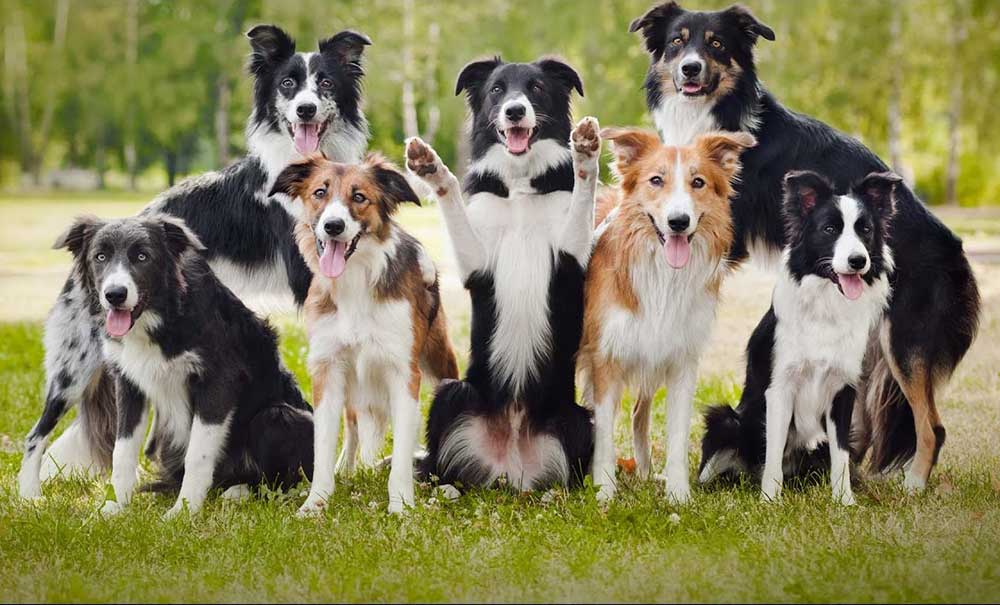 Border Collie Colours