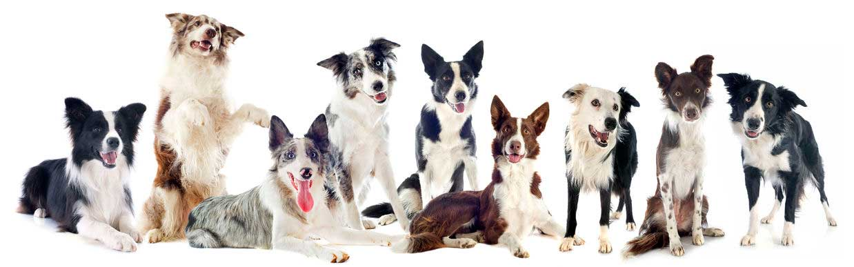 Thailand Border Collies Kennel