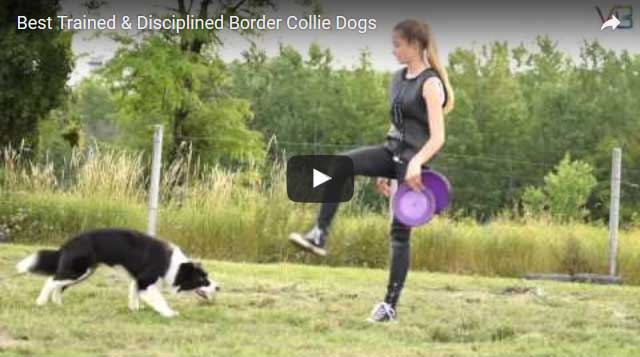 Border Collie Tricks